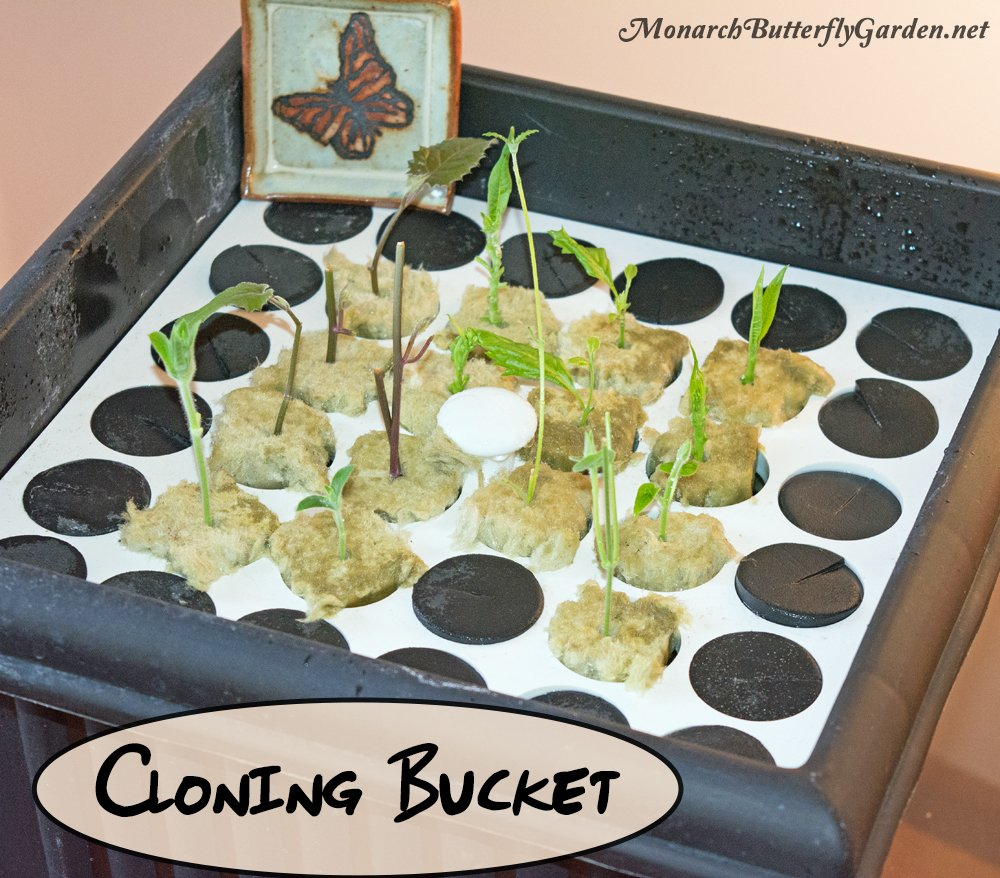 A Cloning Bucket can also be used to start milkweed stem cuttings and other butterfly plants. Clone bucket systems will grow roots faster than just submerging cuttings in a glass of water.