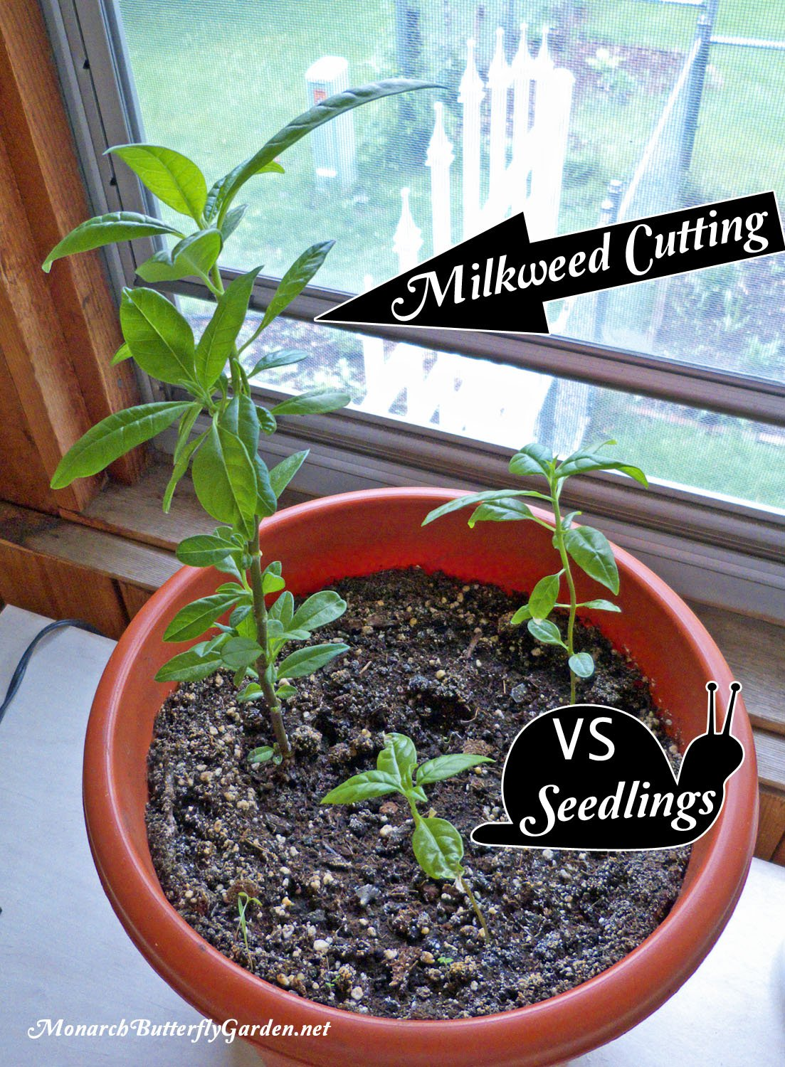 The dramatic difference when you grow from cuttings VS starting tropical milkweed seeds. Learn how to take your own cuttings and never run out of milkweed for your monarch caterpillars again!