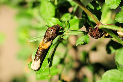 Giant Swallowtail Caterpillars Mimic Bird Poop to Avoid Predators