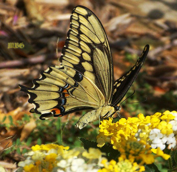 Giant Swallowtail Butterfly Sips on Yellow and White Lantana camara