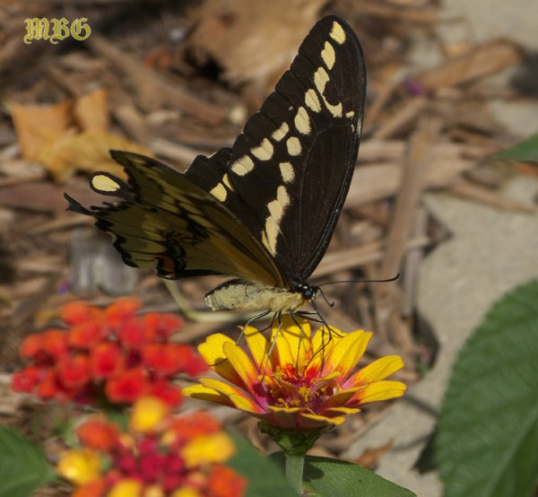 Giant Swallowtail Enjoys a Showy Zowie Yellow Flame Zinnia