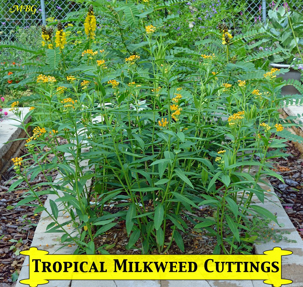 Just a few months after taking tropical milkweed cuttings to start a new patch, the plants have flowered and even started producing milkweed seeds- Grow from Cuttings