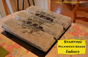 How to Start Milkweed Seeds indoors to Increase your Milkweed Supply for Monarch Butterflies.