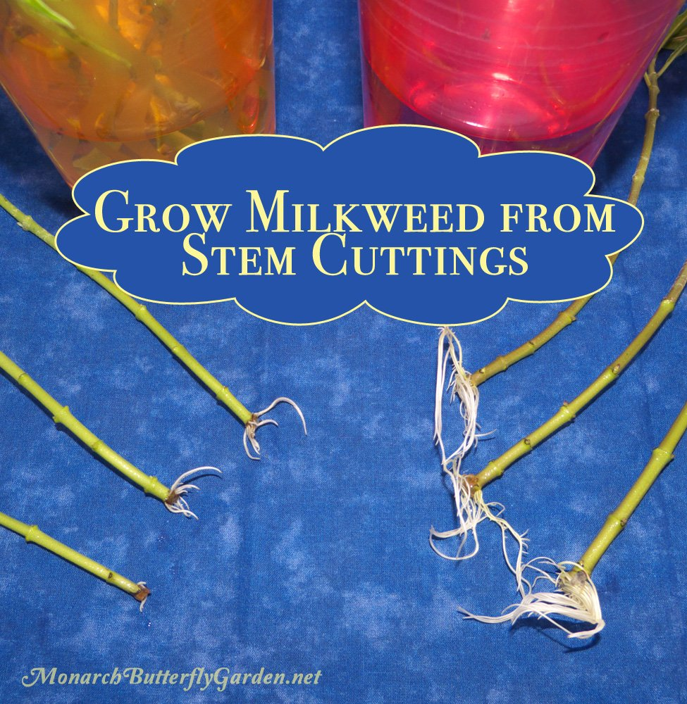 A Step by Step Tutorial for Growing Tropical Milkweed from Stem Cuttings. Growing milkweed has never been so easy...and so fast!