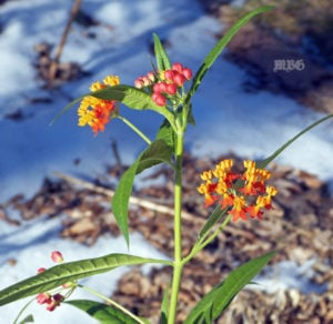 Tropical Milkweed Blooms in Winter