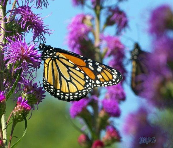 School Butterfly Garden Tip 4  Butterfly Season Is In Full Swing Across  Most Of North