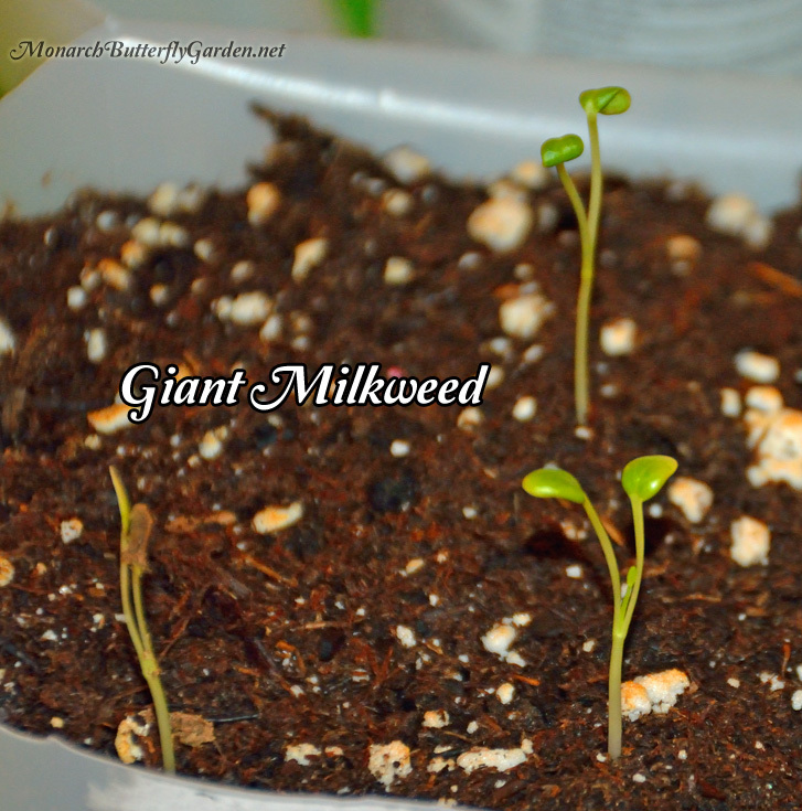 Asclepias Gigantea (Giant Milkweed) Seedlings Started Indoors