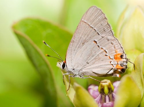 A hairstreak butterfly rests its wings on spring blooming green antelopehorn milkweed (Asclepias viridis)