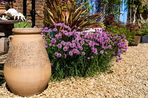 The bountiful blooms of purple-flowered Chives (Allium schoenoprasum) will attract and support spring monarchs and other important pollinators.