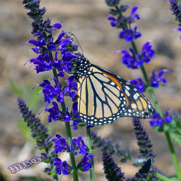 A Spring Monarch Male Sips Nectar May night Salvia (Salvia X Sylvestris 'Mainacht')