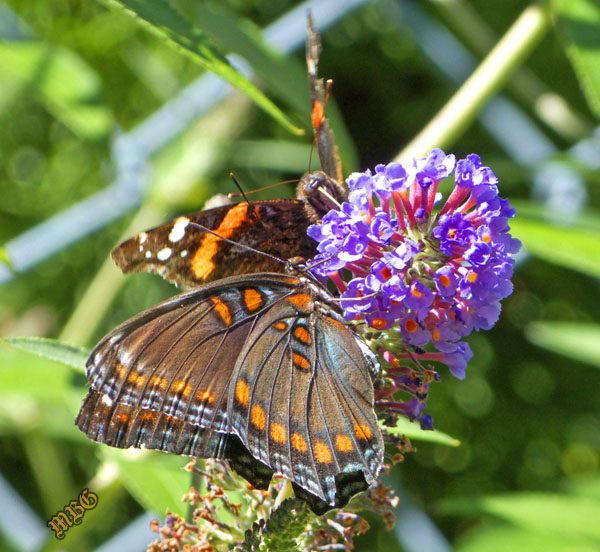 A Red Admiral and Red Spotted Purple share the sweetness of 'Ellen's Blue' Butterfly Bush