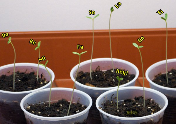 Goose Plant Milkweed Seedlings after just one week