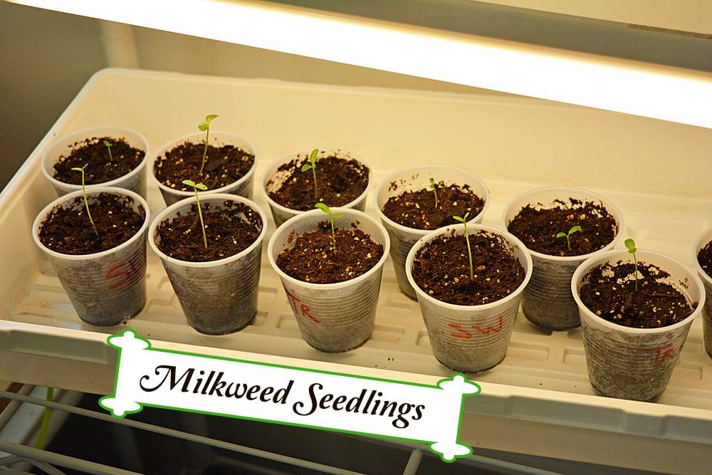 Starting Milkweed Seeds Indoors Part 3- Results