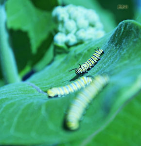 Monarch caterpillars need more milkweed to survive