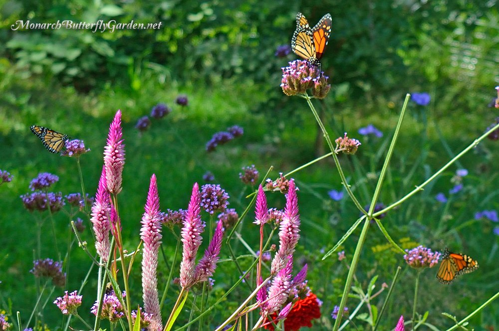Verbena bonariensis is a preferred monarch migration energy drink if you keep up with deadheading over the summer. More Photos and Info...