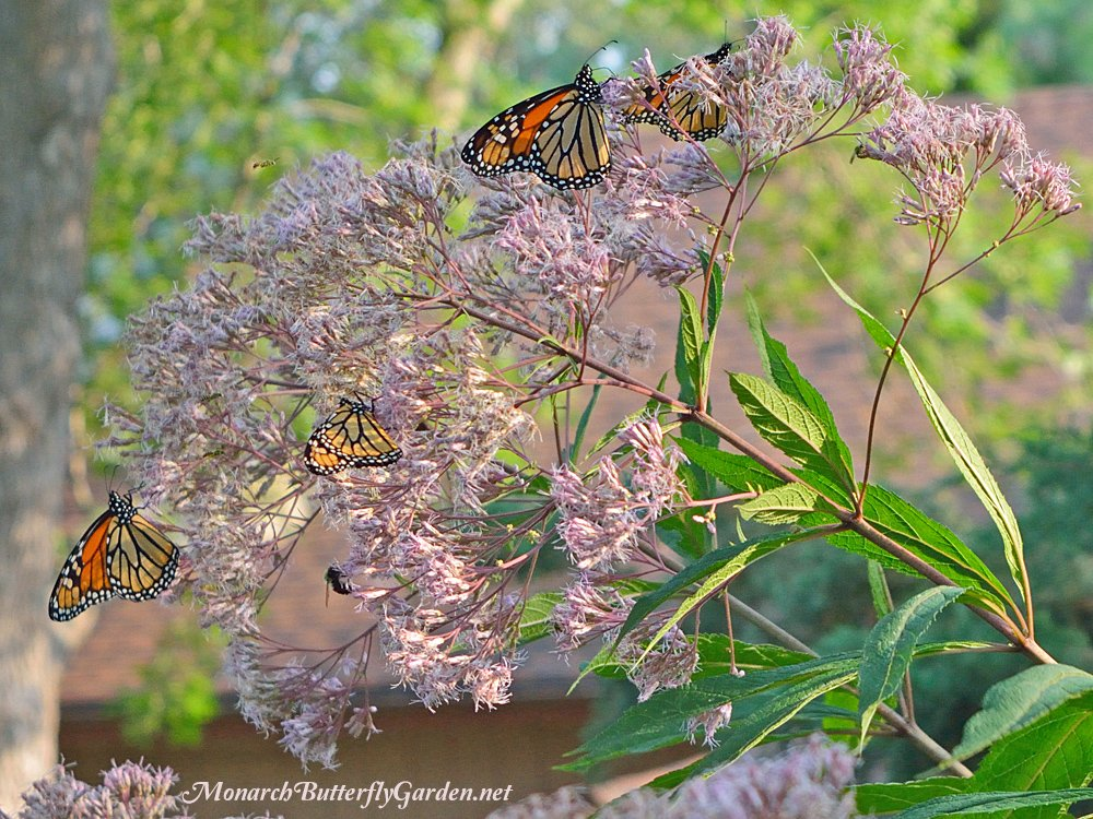 monarch butterflies swarm joe pye weed in late summer making it a top butterfly garden - Florida Butterfly Garden