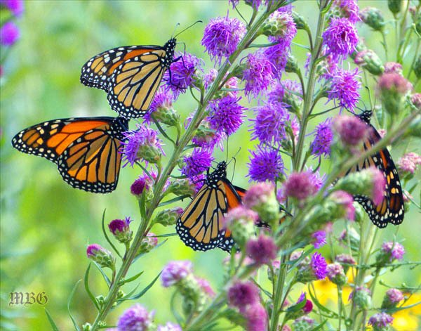 This late blooming butterfly plant might be the best 'purple' monarch magnet of them all.