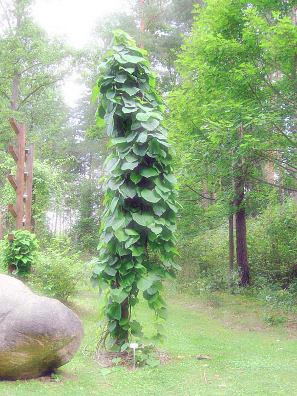 5 Butterfly Vines for a Vertical Garden- Aristolochia durior or macrophylla is a climbing, heart-leafed host plant for pipevine swallowtails.