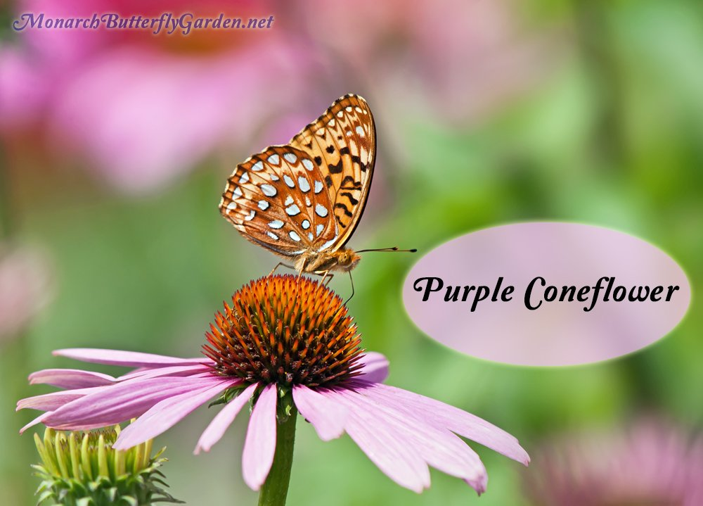 Best Butterfly Plants- Purple coneflowers put forth pretty pink blooms during the late days of spring into summer. They are frequently visited by many types of butterflies including fritillaries.