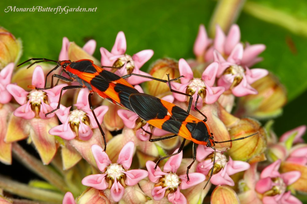 Milkweed Bugs are regular visitors to most milkweed varieties, including Asclepias sullivantii. Although they eat milkweed and small monarch eggs/caterpillars they are also a tasty treat for birds visiting the garden, making them an important part of the local ecosystem.