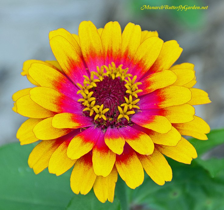 Zowie Yellow Flame Zinnias are top notch annual nectar flower for butterflies but aren't always easy to find in stores, making zowie seeds a great butterfly gift idea.