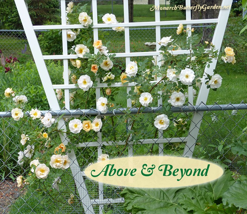 This sweetly-scented climbing rose blooms prolifically in spring and can be trained to climb an arbor, pillar, or garden trellis. To our surprise, the white and apricot blooms have been an early bee favorite, so plant this spring beauty to support your local pollinators.