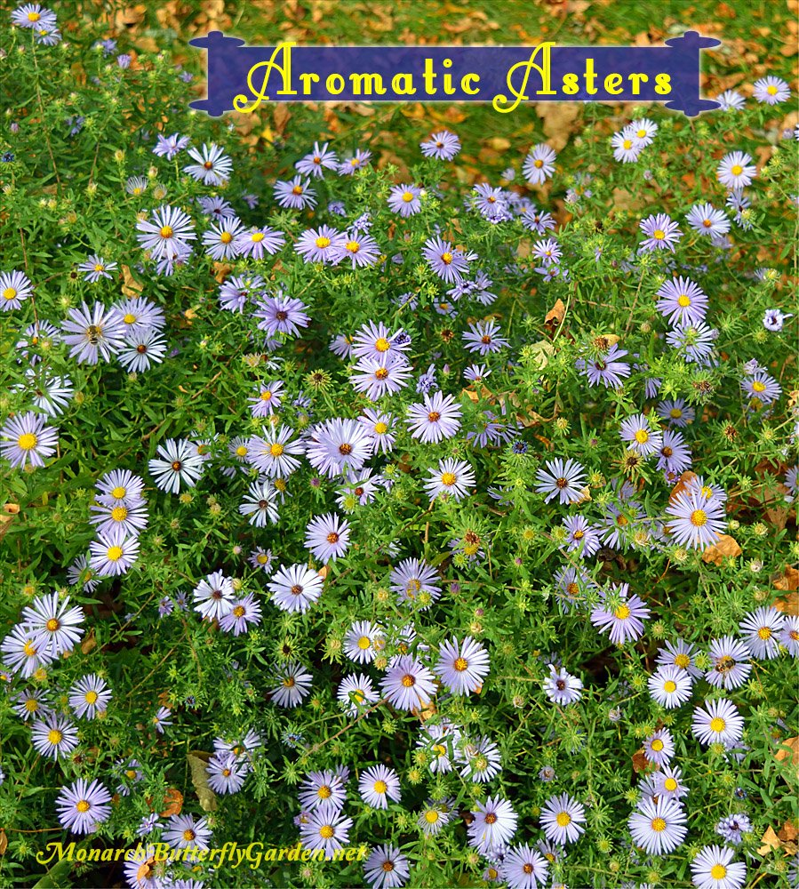 Aromatic Asters are one of the last blooming asters, but the bounty of purple flowers is well worth the wait for its stunning beauty and ability to support fall pollinators.