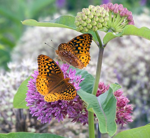 Two Great Spangled Fritillaries on Purple Milkweed (Asclepias purpurascens)