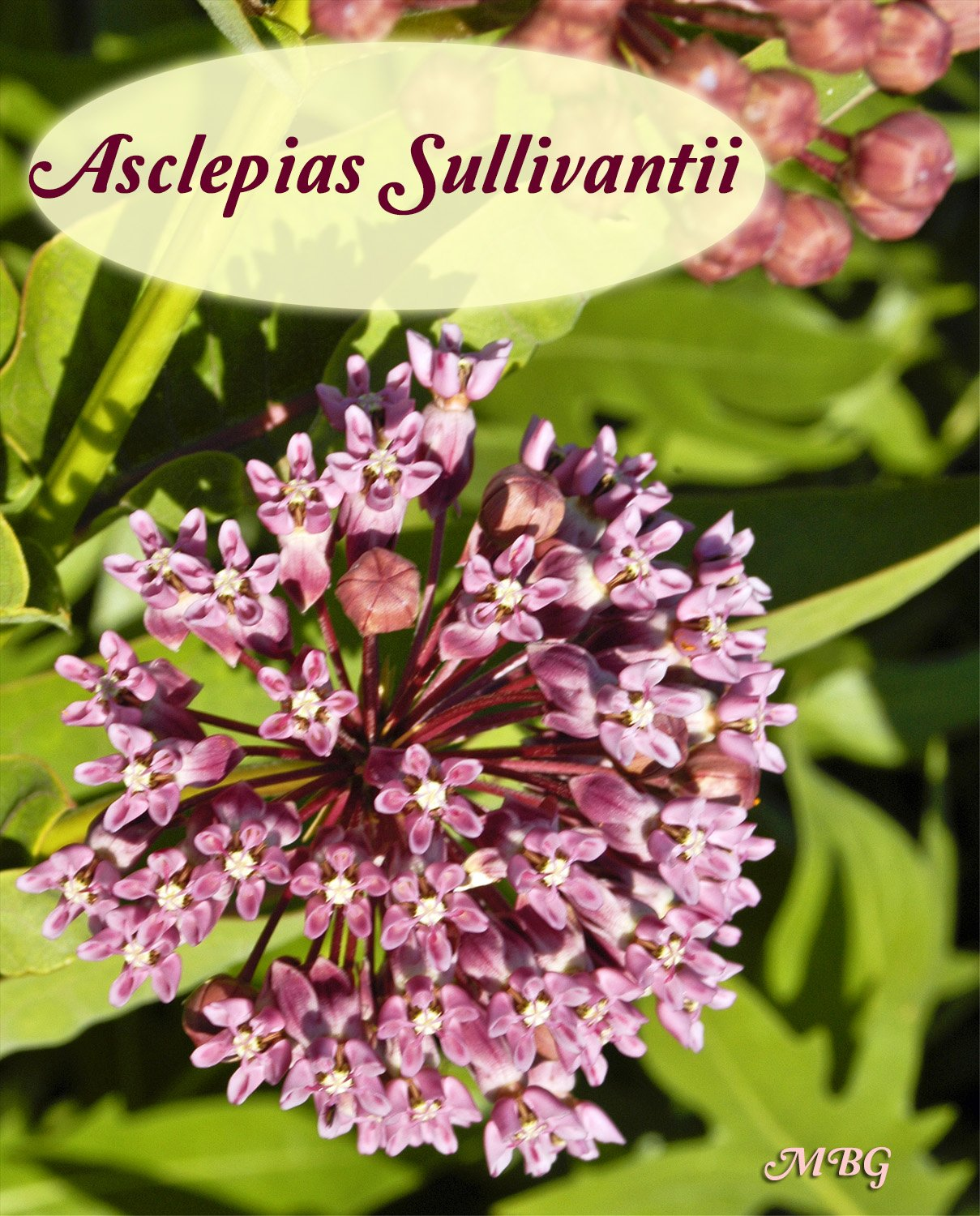 The fragrant blooms of prairie milkweed fill the butterfly garden with sweet scents each summer. Is this milkweed variety is a good fit for your garden?