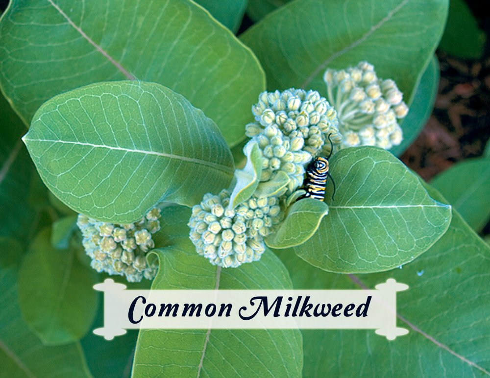 Asclepias syriaca is an important milkweed for supporting monarchs with its large, thick leaves and aromatic blooms. Find common milkweed seeds for your butterfly garden.