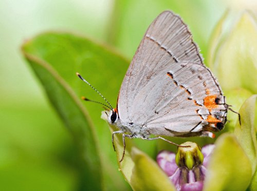 Hairstreak Butterflies also seek spring nectar from the blooms of Asclepias viridis