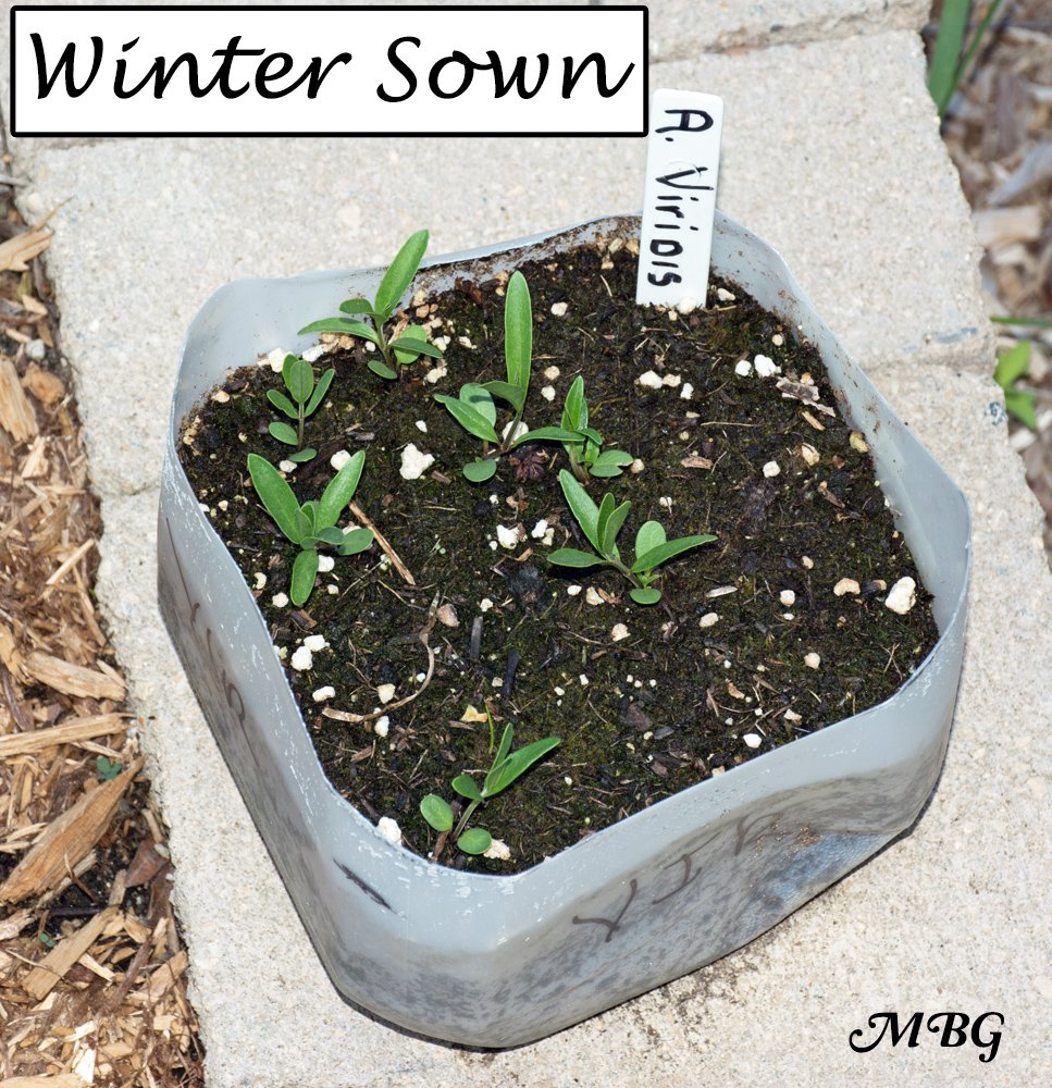 Asclepias viridis (spider milkweed) seeds need a cold moist stratification, which makes them a great option for winter sowing milkweed seeds.