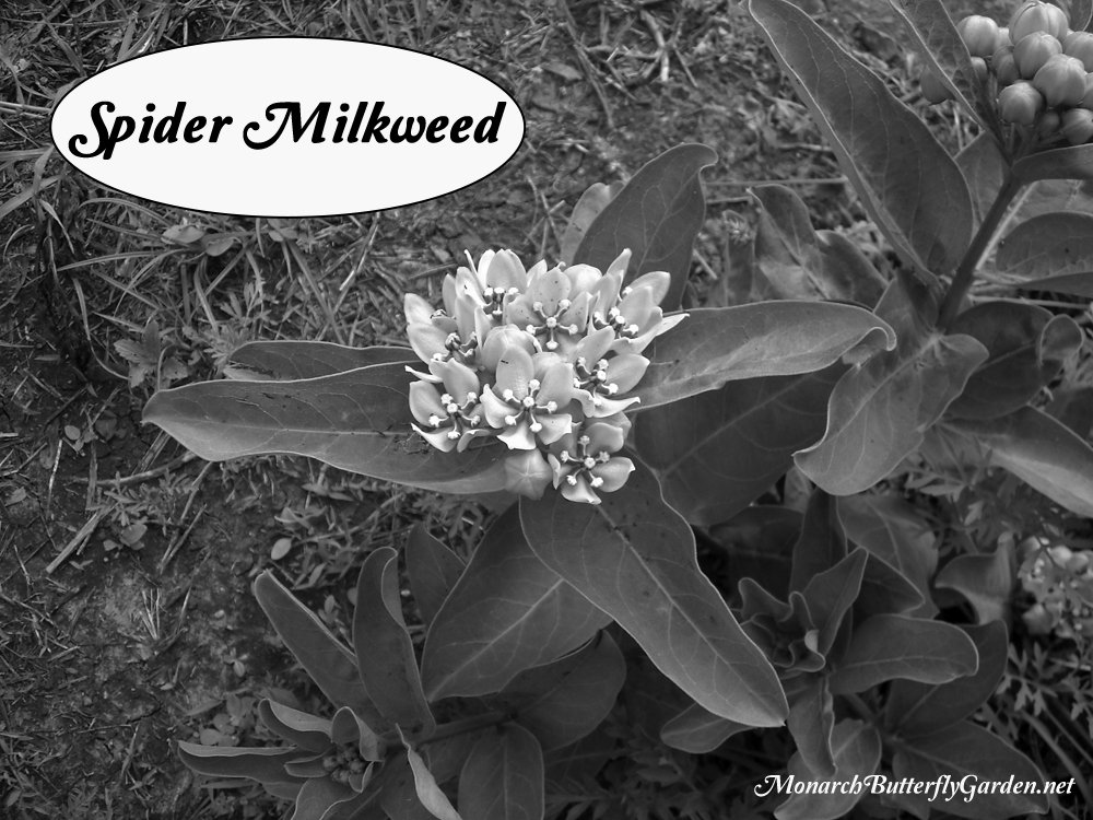 Asclepias viridis is commonly known as spider milkweed. It's native to the south central US and is a popular host and nectar plant for spring monarchs returning from Mexico.