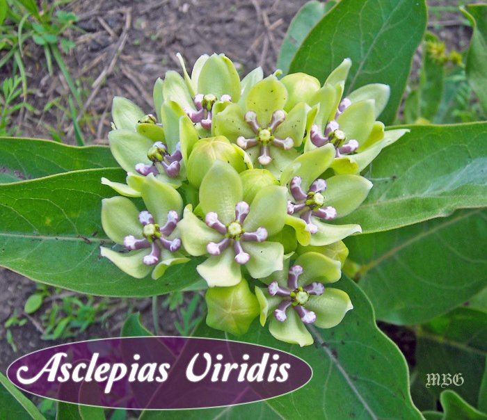 The Nectar Rich Blooms of Asclepias viridis attract many butterflies and beneficial pollinators each spring through early summer. The plant leaves are important caterpillar food to help monarch butterflies get the season off to a flying start...