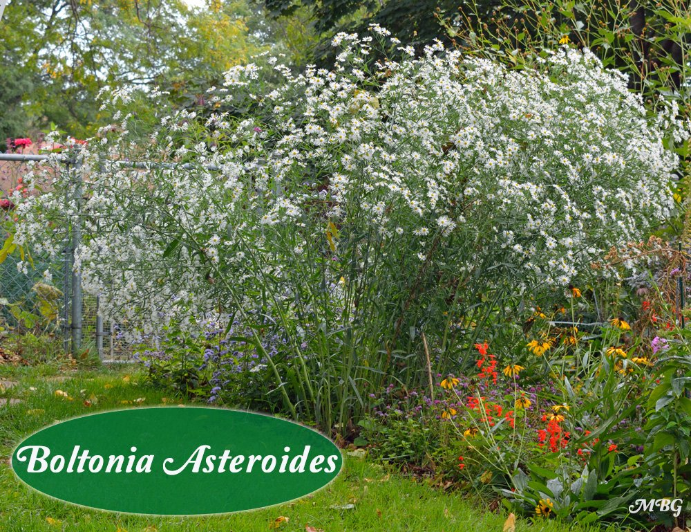 Butterfly plants list butterfly flowers and host plant ideas boltonia asteroides is a false aster with late blooming flowers through september and into early october the white sea mightylinksfo