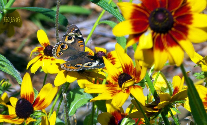 Buckeye Butterflies and other pollinators frequently visit the stunning Denver daisy- Best Butterfly Plants List
