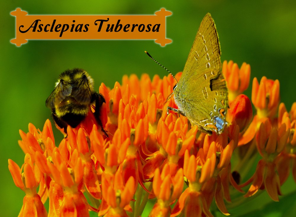 asclepias tuberosa butterfly weed for monarch butterflies, Beautiful flower