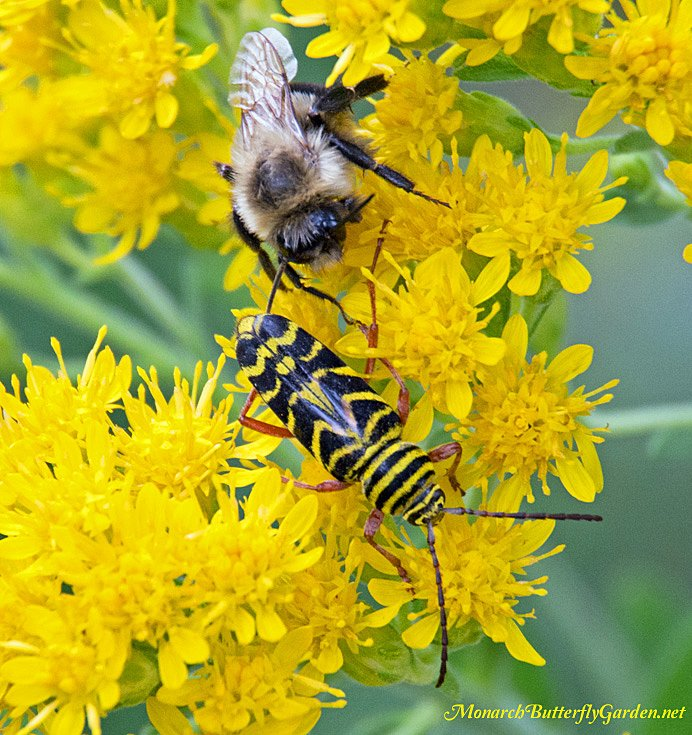 Showy goldenrod is covered in a blanket of bumble bees at the end of each summer and also hosts other amazing pollinators. Get more info and see if this is a good pollinator plant for your region...