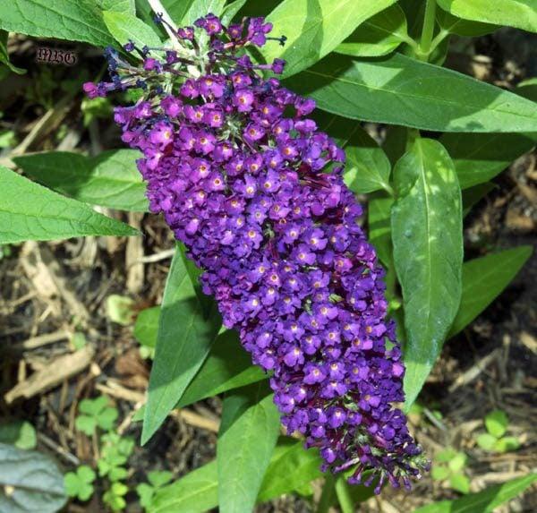 Magenta Buddleia Buzz Butterfly Bush- 5 PURPular Butterfly Flower Ideas