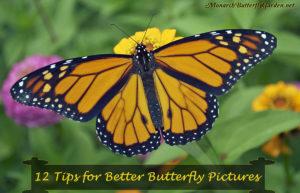 Try these 12 ideas for taking your butterfly photography photography to new heights as you capture more beautiful butterfly photos