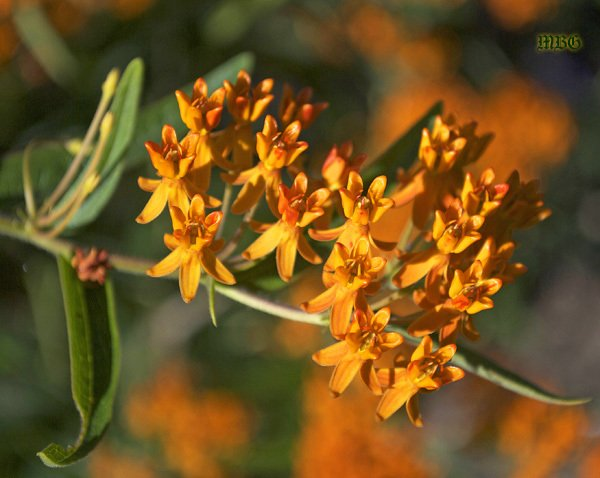 Orange Flowers of Asclepias Tuberosa (butterfly weed)