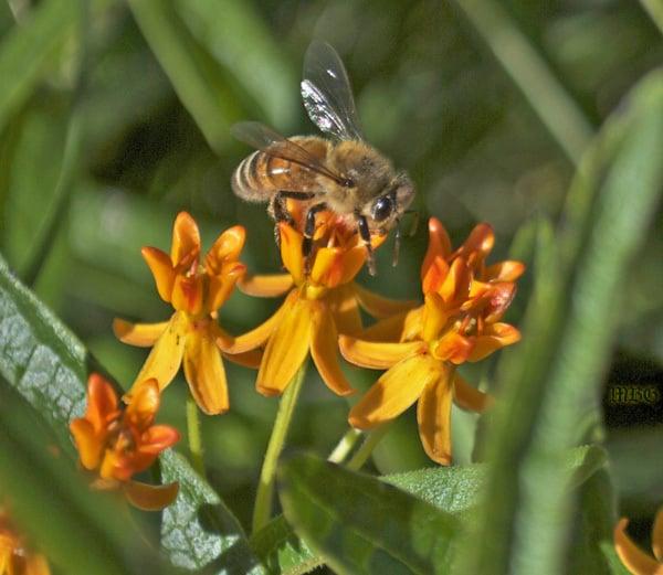 Honeybee on Butterfly Weed (Asclepias tuberosa)