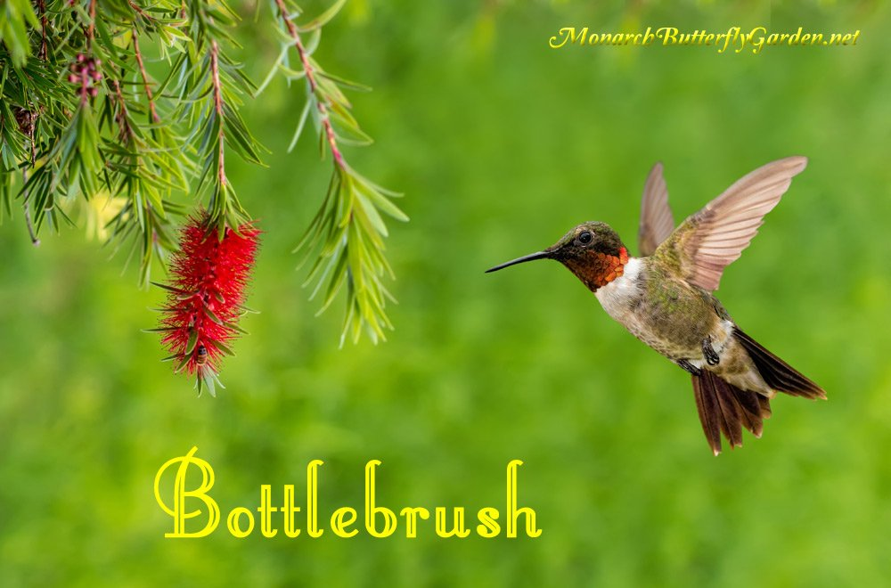 Bottlebrushes are warm weather butterfly and hummingbird plants commonly named for their striking resemblance to the handy kitchen accessory. See if these continuous blooming beauties are a good option for your garden.
