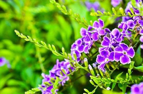 Duranta erecta Sapphire showers flowers