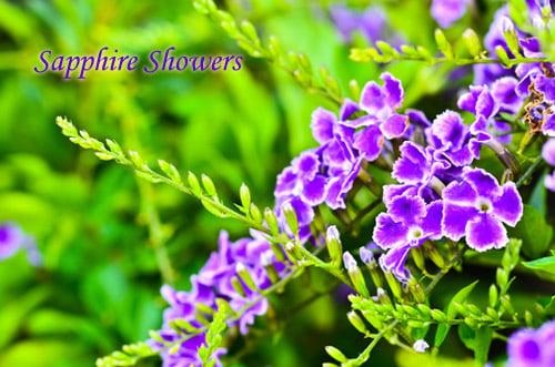 Duranta erecta purple sapphire showers