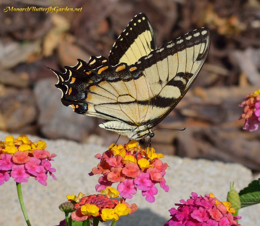 Lantana Is A Continuously Blooming Butterfly Flower That Attracts Many  Varieties Of Butterflies And Other Pollinators