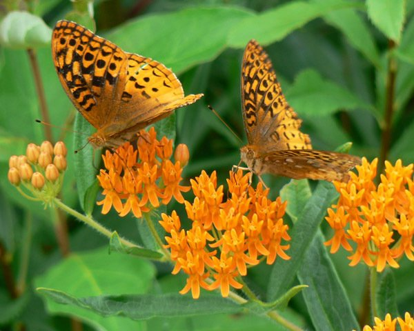 Fritillaries are one of the many butterflies attracted to the bright orange blooms of butterfly weed. Get more info and find milkweed plants or seeds for your garden...