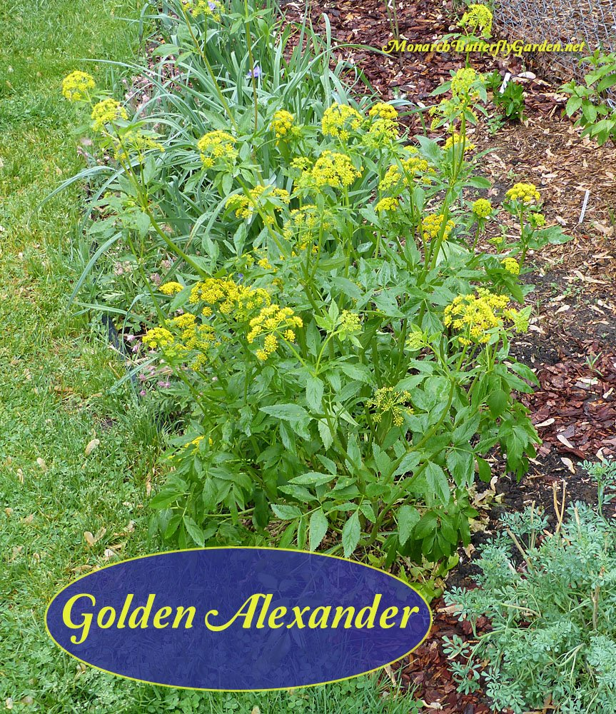 Golden Alexander is a host plant for eastern black swallowtails. It grows up to 3 feet tall, and puts out small, sunny blooms in late spring. It is a member of the carrot family so rabbit fencing is a good idea. See if golden Alexander is a good fit for your garden...