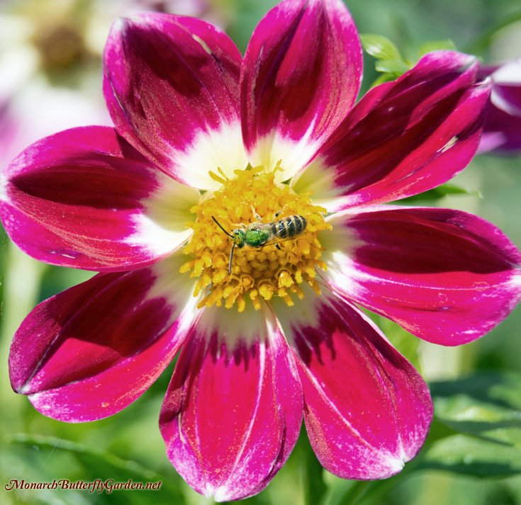 Beneficial Bees Love Collarette Dahlias