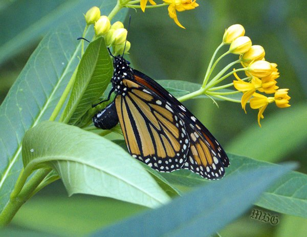 Monarch Female Laying Eggs on Silky Gold Tropical Milkweed